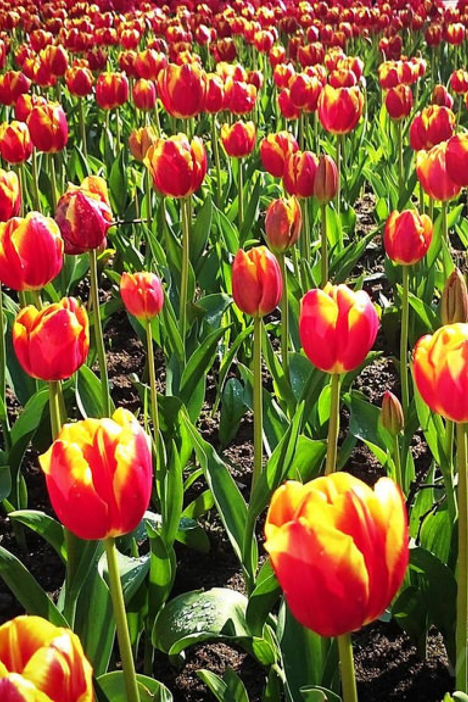 PortoCool_Blog_Há mais de 100 mil tulipas no Porto!